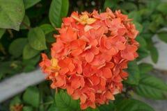 Orange Ixora blomma med det gröna bladet royaltyfri bild