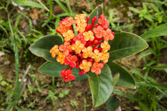 Orange Ixora Stock Photo