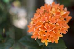 Orange Ixora-Blume Lizenzfreies Stockbild