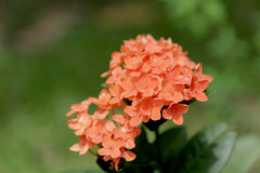 Orange Ixora ( Coccinea) flowers Royalty Free Stock Image
