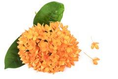 Orange Ixora flower Royalty Free Stock Photos