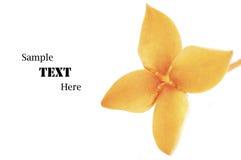 Orange Ixora Flower isolated on white Stock Photography