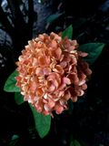 Orange ixora Royalty Free Stock Photo