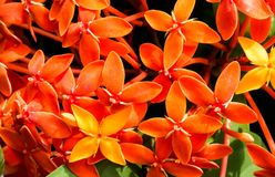 Orange Ixora Flowers Blossoming. Bunch of Orange Ixora Flowers Blossoming in Monsoon days India royalty free stock images
