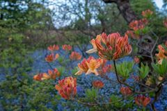 Orange Japanese azalea in bud outside the walled garden at Eastcote House Gardens with blue bells and blue forget-me-not behind