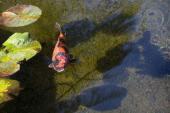 Orange Japanese Koi Fish. Orange Koi Fish also know as Goldfish coming to the surface with mouth wide open in the pond royalty free stock image