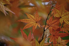 Orange Japanese Maple Leaf Royalty Free Stock Photography
