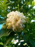 Orange jasmin Royaltyfria Foton