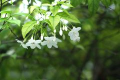 Orange Jasmin oder weiße Blumen in der Schwerkraftrichtung lizenzfreie stockfotografie