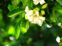Orange jasminblomma efter regn Royaltyfri Bild