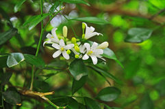 Orange jasmine. Close-up on a murraya paniculata, commonly called orange jasmine. Tropical, evergreen plant bearing small, white, scented flowers. Ornamental stock photo