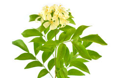 Orange Jasmine Royalty Free Stock Photography