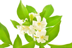 Orange Jasmine Royalty Free Stock Image