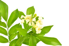 Orange Jasmine Royalty Free Stock Images