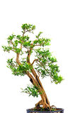 Orange jasmine bonsai Stock Photography