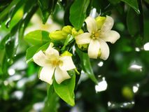 Orange jasmine flower after rain. Stock Images
