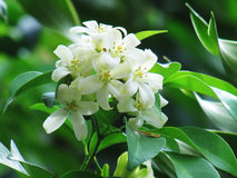 Orange jasmine flowers blooming in the garden. Royalty Free Stock Images