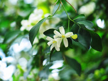Orange jasmine flowers blooming in the garden. Royalty Free Stock Photography