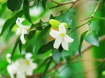Orange jasmine flowers blooming in the garden. Royalty Free Stock Photos