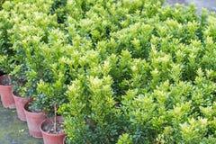 Orange Jasmine Stock Photos