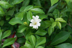 Orange Jasmine. S which are easily found in Thailand royalty free stock photo