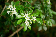 Orange Jasmine, Satin-wood. Stock Images