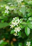 Orange Jasmine. Royalty Free Stock Images