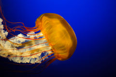 Orange Jelly Fish royalty free stock photography