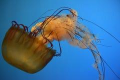 Orange Jelly Fish Stock Images