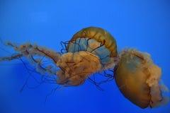 Orange Jelly Fish Stock Photos