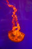 Orange Jelly fish on blue. Underwater life Royalty Free Stock Image