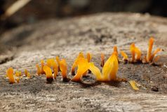 Orange jelly fungus. Small orange fungus stock photo