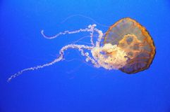 Orange jellyfish Royalty Free Stock Photo