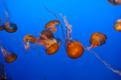 Orange jellyfish. Jellyfish at the Monterrey Bay Aquarium Royalty Free Stock Image