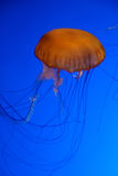 Orange jellyfish in an aquarium Royalty Free Stock Photo