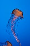 Orange Jellyfish in Aquarium Stock Image