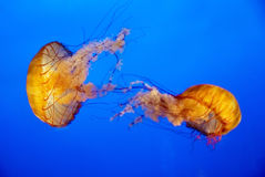 Orange jellyfish in an aquarium Royalty Free Stock Image