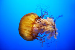 Orange jellyfish (Chrysaora fuscescens) Stock Image