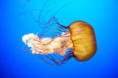 Orange jellyfish (Chrysaora fuscescens) Royalty Free Stock Photo
