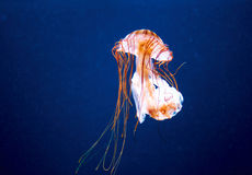 Orange jellyfish Stock Image