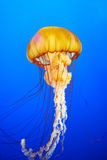 Orange jellyfish (Chrysaora fuscescens) Royalty Free Stock Image