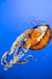 Orange Jellyfish close up in the deep blue sea royalty free stock photo