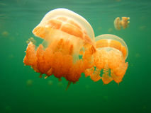 Orange Jellyfish Green Lake Royalty Free Stock Images