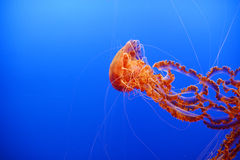 Orange jellyfish. Orange nettle jellyfish from with a blue background Royalty Free Stock Image