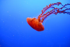 Orange jellyfish Stock Photos