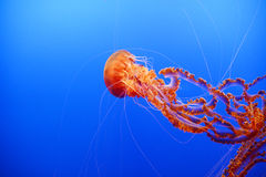 Orange jellyfish Royalty Free Stock Photography