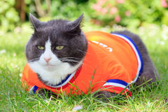Orange jersey fatty. Random image of a fat cat dressed as soccer player for the dutch national team relaxing in the garden in spring in the Netherlands stock photo