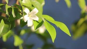 Orange Jessamine blommor och grönt blad lager videofilmer