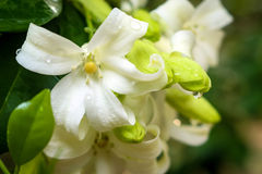 Orange Jessamine Royalty Free Stock Image