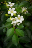 Orange Jessamine flowers. Stock Image